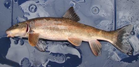Photo scanner longnose sucker for Freshwater sucker fish